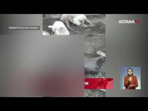 Стадо овец и коз погибло в Актюбинской области