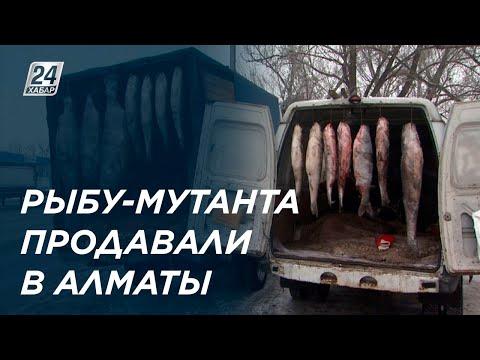 Гигантскую рыбу странного вида нелегально продавали в Алматы