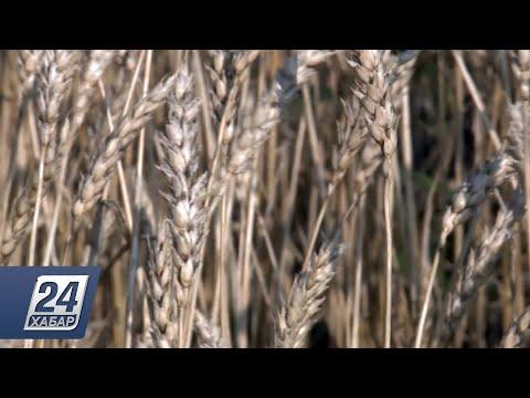 На десять дней раньше начали уборку пшеницы в Узункольском районе