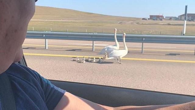 Лебеди не могли перейти трассу в Казахстане. На помощь пришли люди