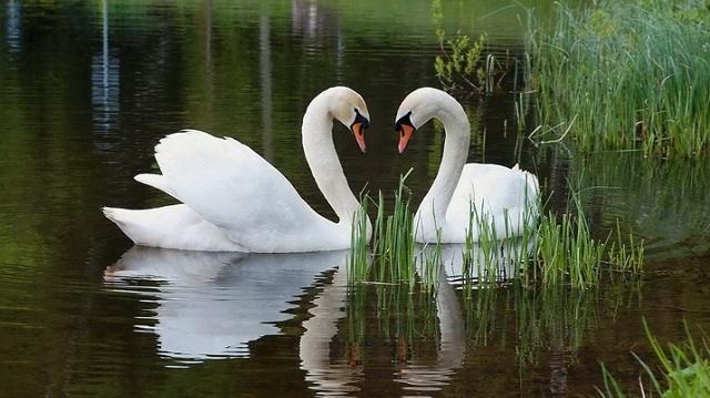 Семейство лебедей развелось на озере в Павлодарской области. Их расстреляли
