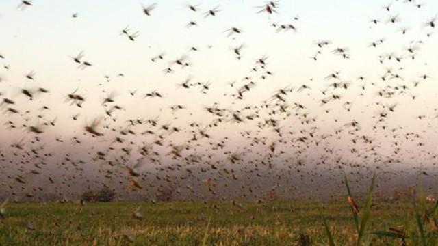 В Костанайской области проводят химобработку против саранчи