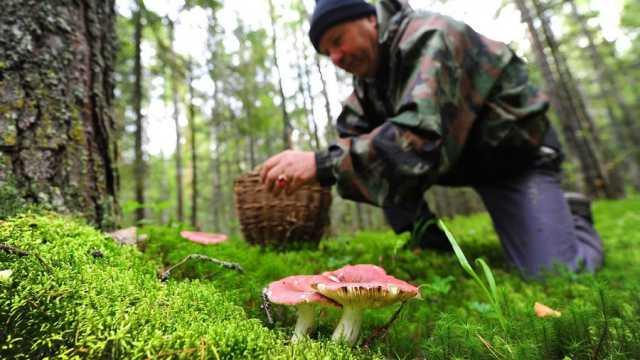 Благушка, рыжик и белый: почему эти грибы на Руси ели сырыми