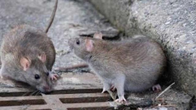 Нашествие крыс беспокоит жителей Усть-Каменогорска
