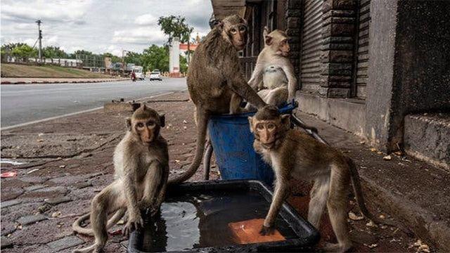 Тысячи голодных обезьян в Таиланде громят магазины и нападают на людей
