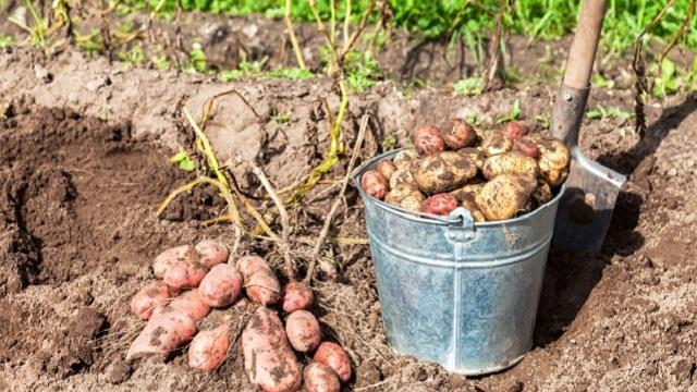 А вы и не знали! Как правильно хранить и готовить картофель