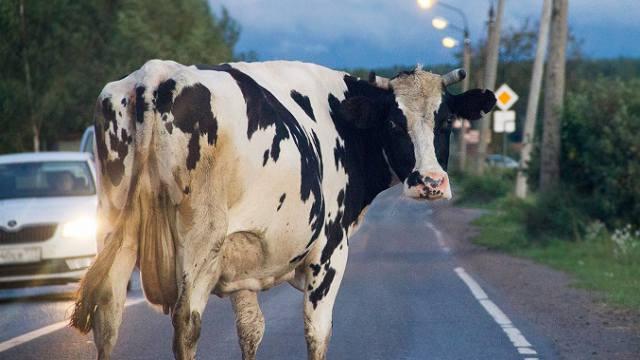 Назван размер штрафа за бесконтрольный выпас скота в Костанайской области