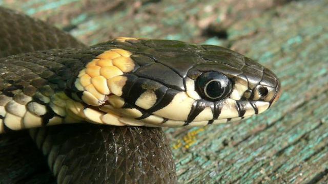 Чёрную двухметровую змею заметили в одном из районов Костанайской области