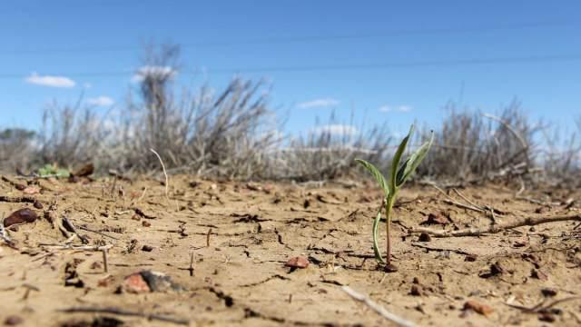 Урожай гибнет из-за засухи в Костанайской области