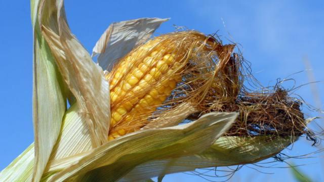 Мать полей: В Костанайской области начали уборку кукурузы