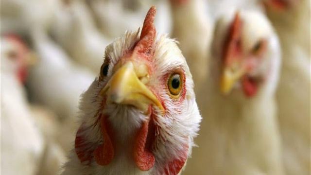 Инвесторы снова пытаются реанимировать птицефабрику в Костанайской области