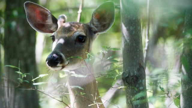 Видео: В лесу недалеко от Костаная грибники сняли на видео оленей