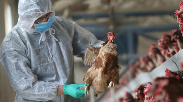 Птичий грипп в Костанайской области. Почему сельчане могут остаться без компенсаций?