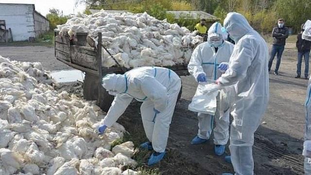 Птичий грипп убил 180 000 кур за сутки в СКО
