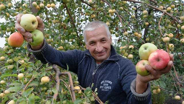 Пахнет яблоками! В Костанайской области сохранили уникальный промышленный сад