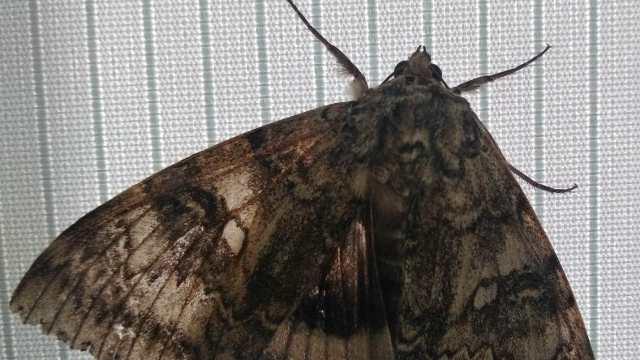 В Чернобыле бабочка размером с птицу сама прилетела к учёным