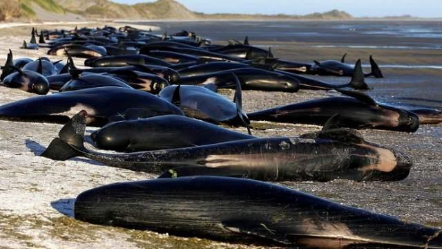 Более сотни чёрных дельфинов выбросились на берег архипелага в Новой Зеландии