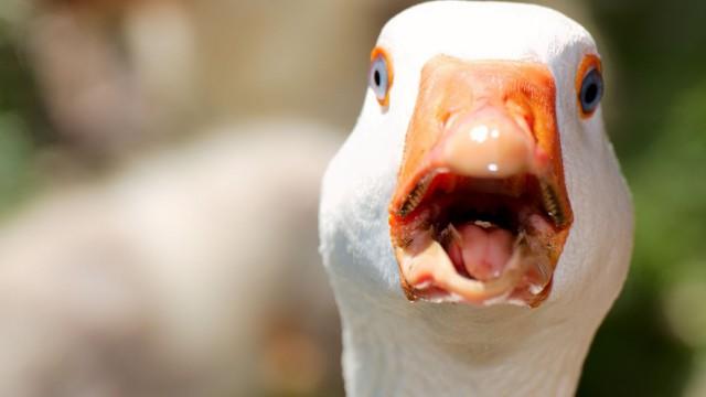 В селе Костанайского района за ночь погибли 13 гусей