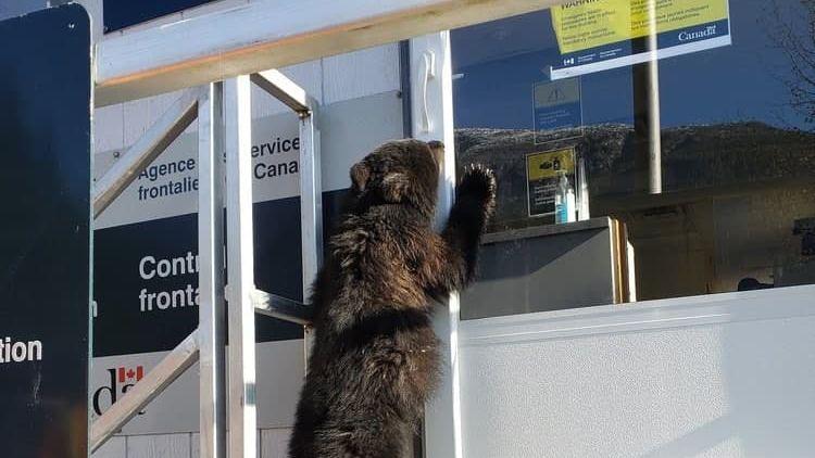 «Предъявите документы!» Медвежонок попытался пересечь границу Канады и США