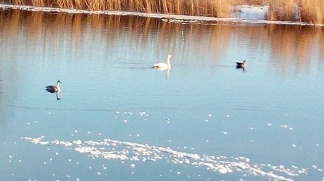 Лебедь, утка и гусь бедствуют на замерзающей реке в Костанае