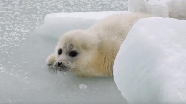 «В поисках мамы»: Судьба новорожденного тюленя взволновала Казнет