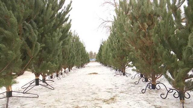 Почему новогодние елки в Костанае стали дороже