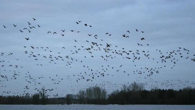 Более миллиона гусей пролетело в небе над Костанайской областью