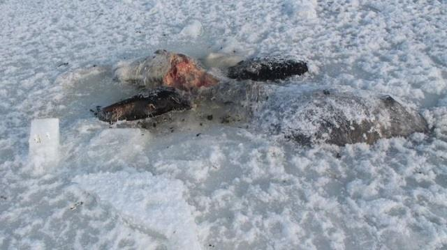 26 лошадей вмерзли в лед в Павлодарской области