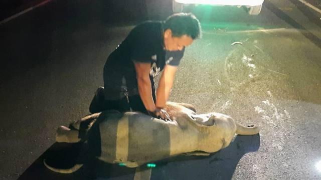 «Я чуть не заплакал»: Сбитому на трассе слонёнку спасли жизнь непрямым массажем сердца