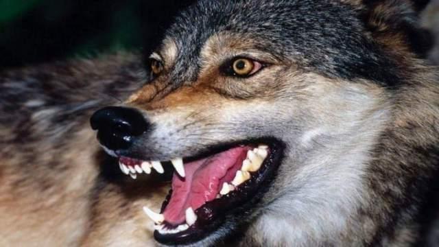 «Укушенные раны в районе живота»: Волк напал на сельчанку в Костанайской области