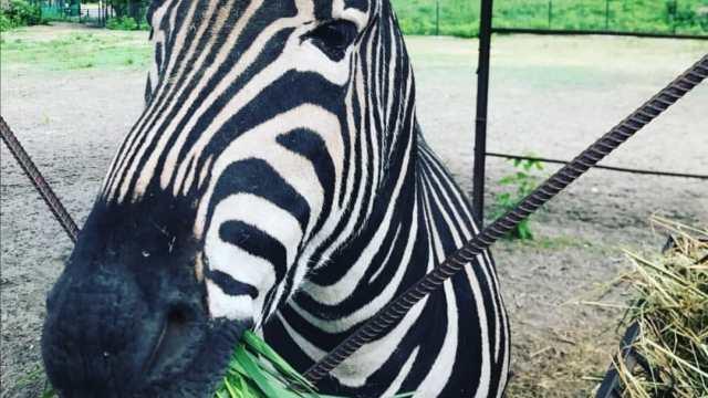 Российский зоопарк собирает деньги на покупку невесты для зебры Мартина