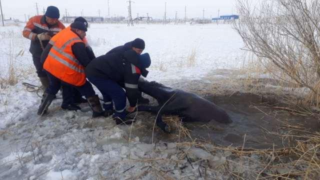 «Ох, нелёгкая это работа!» Лошадь вытащили из ледяной ловушки спасатели в Костанайской области