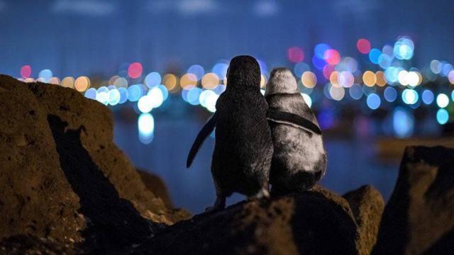 Снимок двух овдовевших пингвинов стал победителем премии журнала Oceanographic