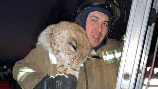 Спасатели сняли домашнюю рысь с дерева в России