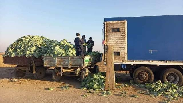 Первый урожай капусты в 2021 году собрали в Казахстане