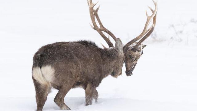 Фото оленя с двумя головами и четырьмя рогами опубликовали в Сети