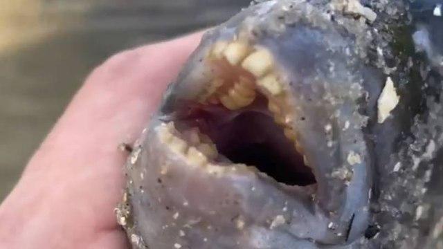 Карася с человеческими зубами поймал на удочку удачливый рыбак