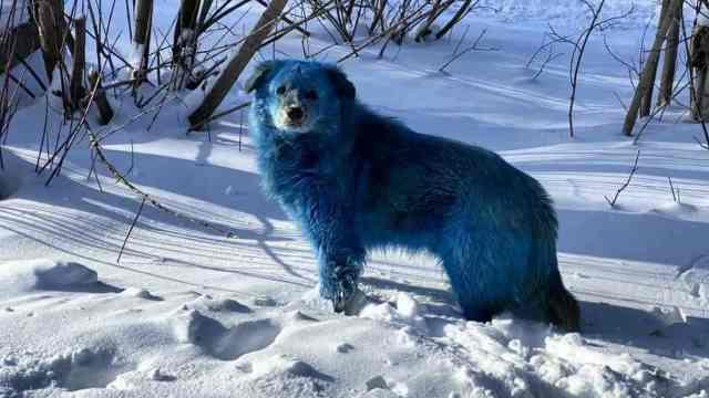«Голубой щенок»: Синих собак обнаружили на заводе в России