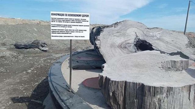 Окаменевшее реликтовое дерево найдено в Качарском карьере