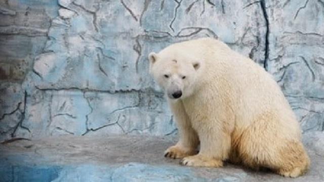 Брошенный мячик стал причиной смерти белого медведя в зоопарке