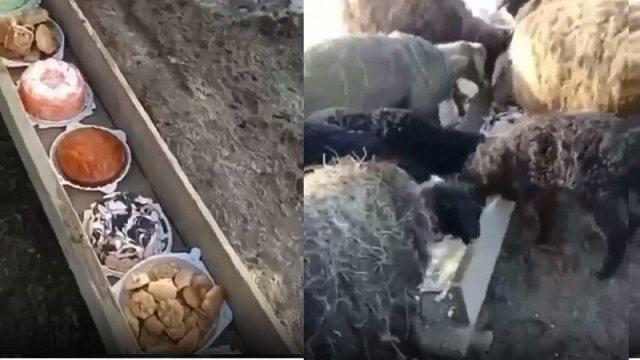 «Чай позже»: Видео с поедающими торты овцами рассмешило Казнет