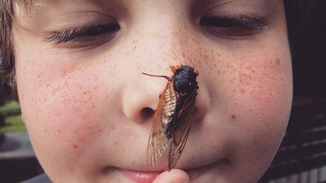 Нашествие цикад: миллиарды насекомых вылезли из-под земли