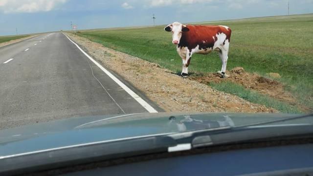 Макеты коров появились на трассе в Костанайской области