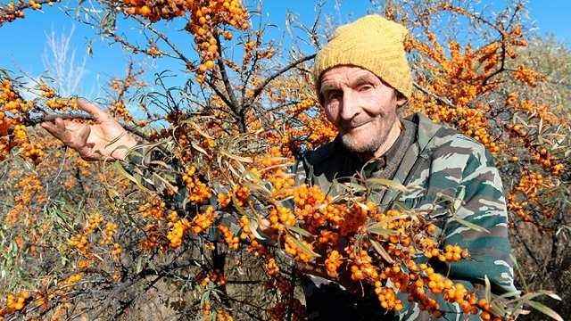 Облепиха пенсионера из Житикары теперь растет в парке Президента