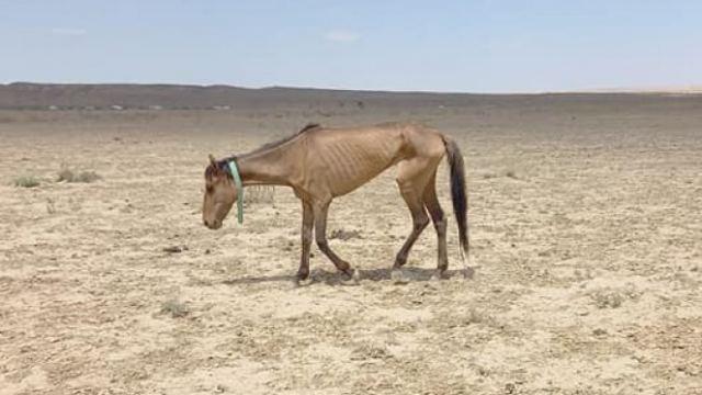 Голодных лошадей Мангистау хотят накормить костанайской травой