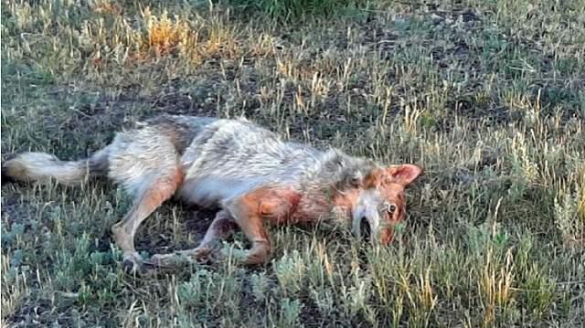 Нападение волков на людей зафиксировано в Костанайской области