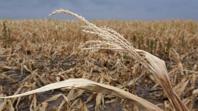 Сколько посевов пшеницы погубила засуха в Костанайской области