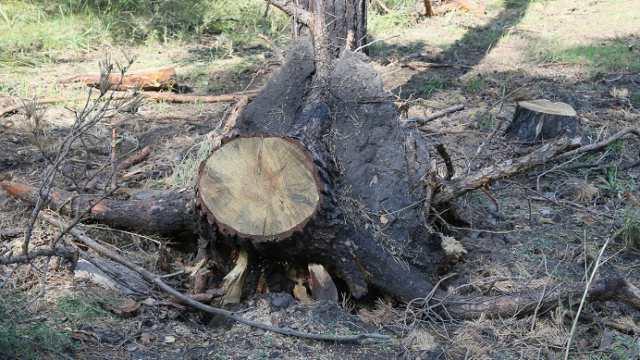 Выкорчеванные пни с корнями пугают отдыхающих под Костанаем