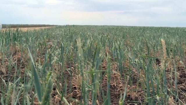 Посевы пшеницы погибают в Костанайской области