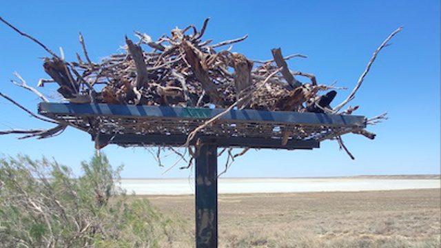 Искусственные гнезда для орлов появились в Костанайской области